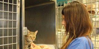 Un gato toma alimento tras una intervención quirúrgica en una de las unidades de atención postoperatoria del Hospital Clínico Veterinario de la CEU-UCH.