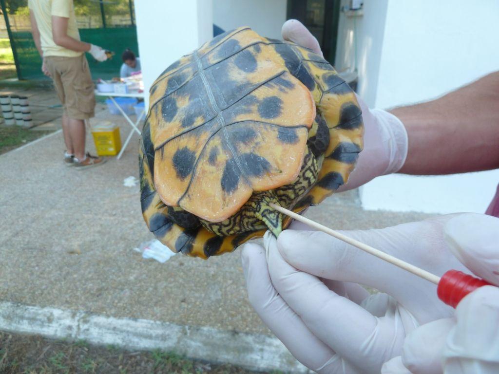 estudio-ceu-uch-salmonella-tortugas-2