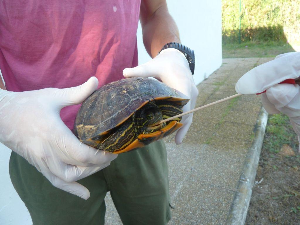 La investigación de la CEU-UCH ha analizado muestras de 96 tortugas en hogares valencianos para detectar la presencia de Salmonella.