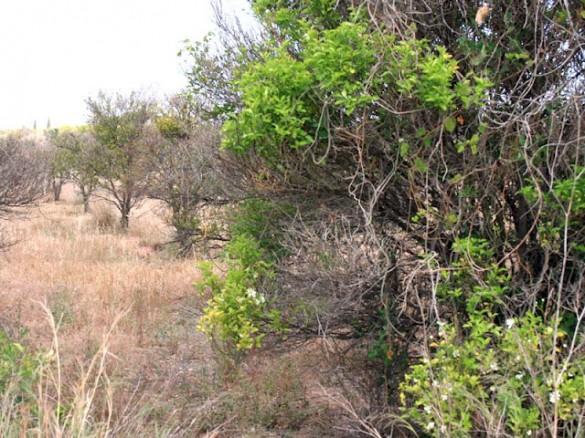 Campo abandonado en Moncada / Archivo.